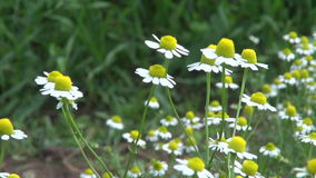 Flores médicos de las hierbas de la manzanilla fresca en verano