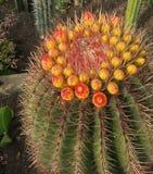 Flores múltiplas em um cacto do globo Fotos de Stock