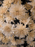 Flores macias Foto de Stock
