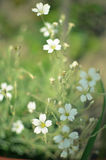 Flores macias brancas da mola do fundo floral macro Fotografia de Stock Royalty Free
