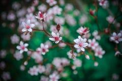 Flores macias da cereja em seu cervo imagem de stock