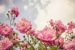 Flores macias da rosa do rosa do efeito foto de stock