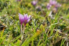 Flores macias do açafrão em um prado Fotografia de Stock Royalty Free