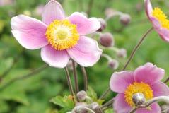 Flores macias do Anemone da cor-de-rosa de veludo Imagem de Stock