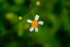 Flores macras Fotos de archivo libres de regalías