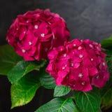 Flores macras y hojas de la hortensia púrpura fresca, aisladas imagenes de archivo