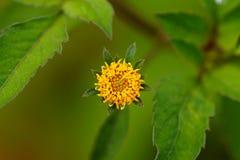 Flores macro Imagens de Stock Royalty Free