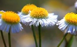 Flores macro Fotografia de Stock Royalty Free