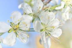 Flores macro brancas da mola Foto de Stock