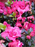 Flores magentas Foto de archivo libre de regalías
