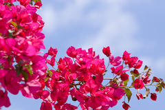 Flores magentas cor-de-rosa bonitas da buganvília e céu azul Imagens de Stock Royalty Free