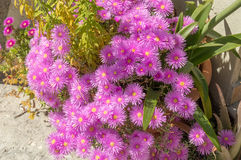 Flores (magentas) cor-de-rosa impressionantes Imagem de Stock