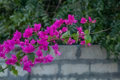 Flores magentas da cor fotografia de stock royalty free