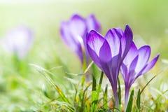 Flores magentas da flor do açafrão na mola Imagem de Stock