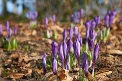 Flores magentas da flor do açafrão na mola Imagens de Stock Royalty Free