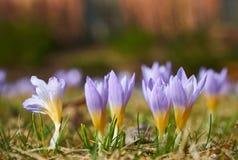 Flores magentas da flor do açafrão na mola Imagens de Stock