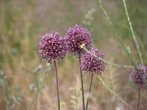 Flores magentas de la cebolla en un campo seco foto de archivo libre de regalías