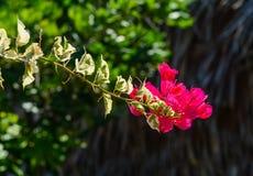 Flores magentas hermosas de la buganvilla fotografía de archivo