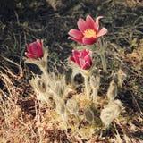 Flores magentas na mola adiantada - filtro tonificado Primeiras flores da mola Fotografia de Stock