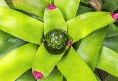 Flores magentas pequenas na folha Fotografia de Stock Royalty Free
