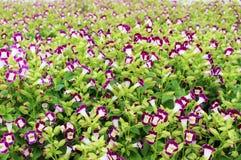Flores magentas y blancas hermosas en fondo maravilloso de las flores Imagenes de archivo