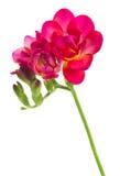 Flores malva da frésia Foto de Stock Royalty Free
