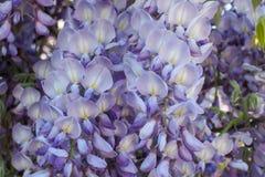 Flores malva e brancas da glicínia Imagens de Stock