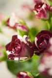 Flores manchadas de Rose Fotografía de archivo