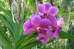 Flores manchadas rosadas hermosas de la orquídea en el jardín rodeado por el verdor imagen de archivo libre de regalías