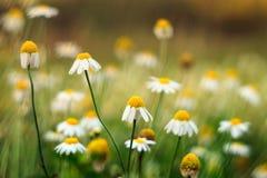 Flores/manzanilla de la margarita Fotos de archivo