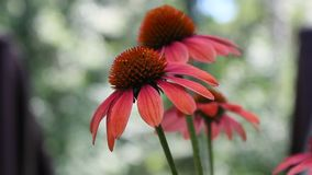 Flores marrons do Echinacea video estoque