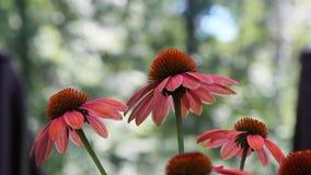 Flores marrons do Echinacea vídeos de arquivo