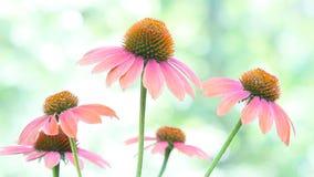 Flores marrons do Echinacea filme