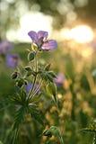Flores Meadowy no por do sol Foto de Stock