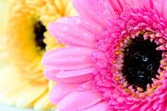 Flores mezcladas de la margarita Fotos de archivo libres de regalías