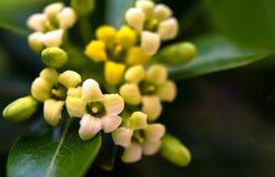 Flores minúsculas Fotografía de archivo libre de regalías