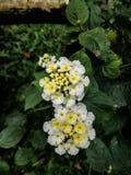Flores minúsculas blancas detalladamente Fotos de archivo libres de regalías