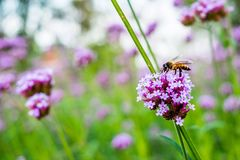 Flores minúsculas de la verbena púrpura con la abeja en sol de la mañana Foto de archivo