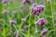 Flores minúsculas de la verbena púrpura con la abeja en sol de la mañana Fotos de archivo