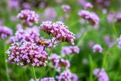 Flores minúsculas de la verbena púrpura con la abeja en sol de la mañana Fotos de archivo libres de regalías