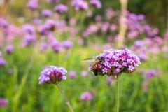 Flores minúsculas de la verbena púrpura con la abeja en sol de la mañana Imágenes de archivo libres de regalías