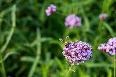 Flores minúsculas de la verbena púrpura con la abeja en sol de la mañana Imagenes de archivo