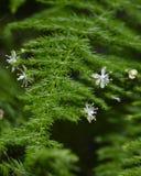 Flores minúsculas del espárrago Imagen de archivo libre de regalías