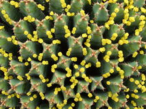 Flores minúsculas do eufórbio enorme Fotografia de Stock Royalty Free