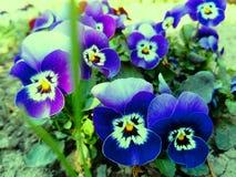 Flores minúsculas hermosas de la viola tricoloras imágenes de archivo libres de regalías