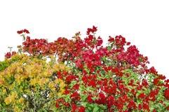 Flores misturadas das cores da buganvília em arbustos fotos de stock royalty free