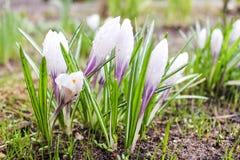 Flores molhadas dos açafrões Imagem de Stock Royalty Free