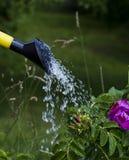 Flores molhando Foto de Stock Royalty Free