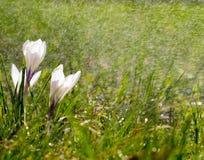 Flores molhando Imagens de Stock Royalty Free