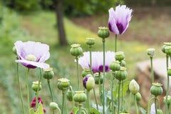 Flores moradas obraz stock